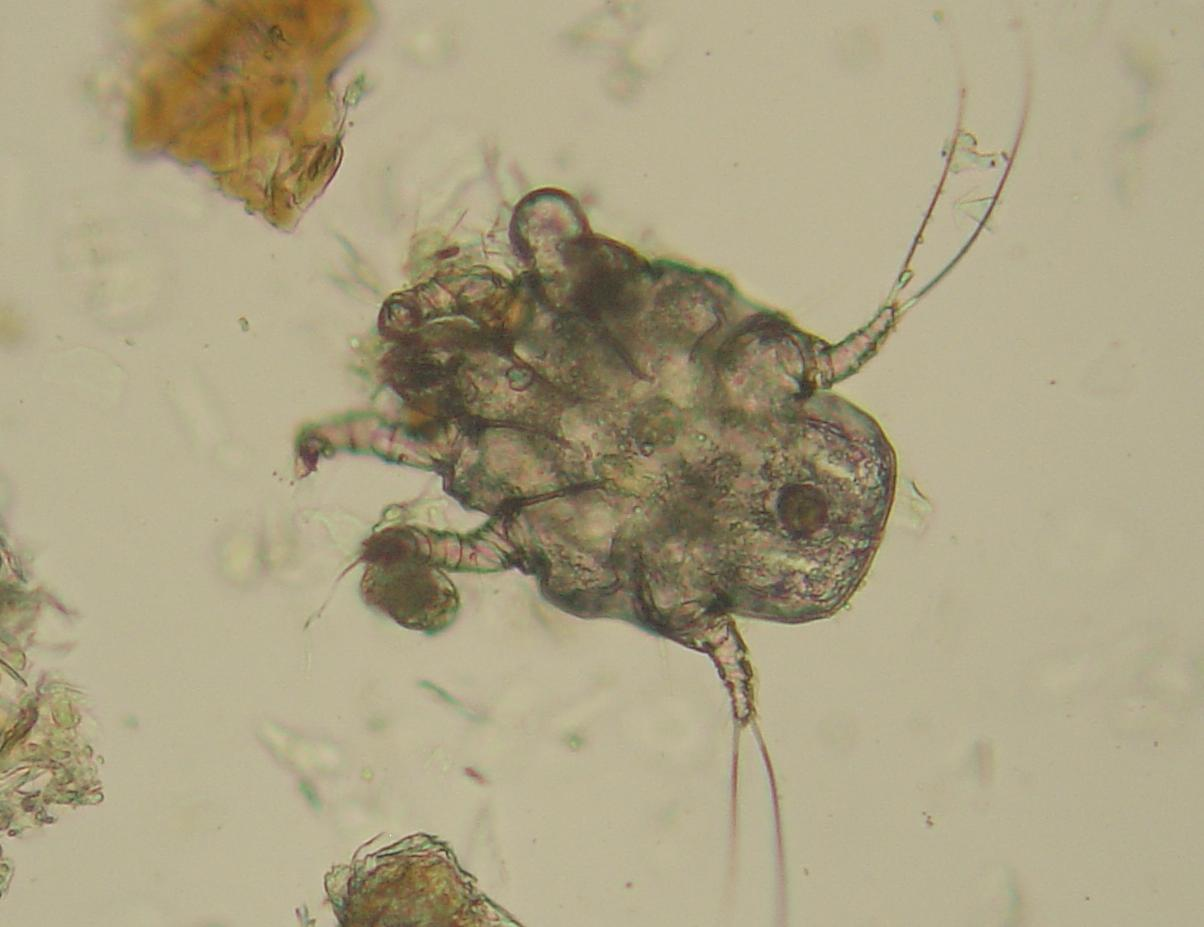 Mites that get in dogs ears shown under a microscope